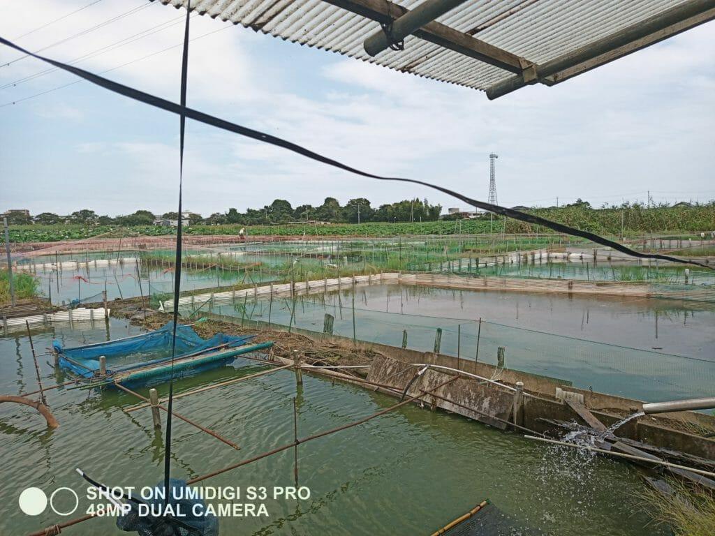 UMIDGI S3 PROで撮った金魚の養殖場の写真のアップ