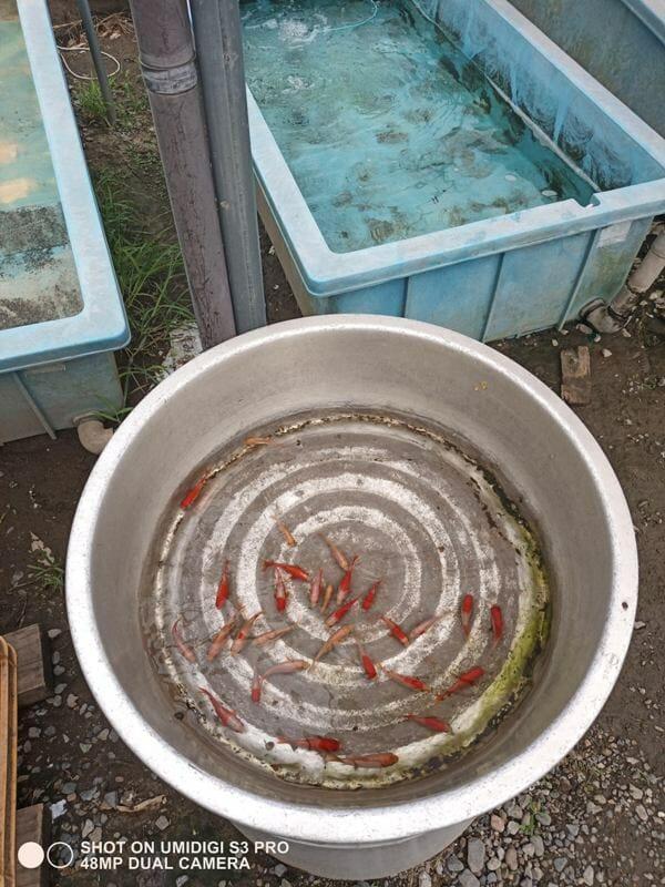 UMIDGI S3 PROで撮った金魚の写真